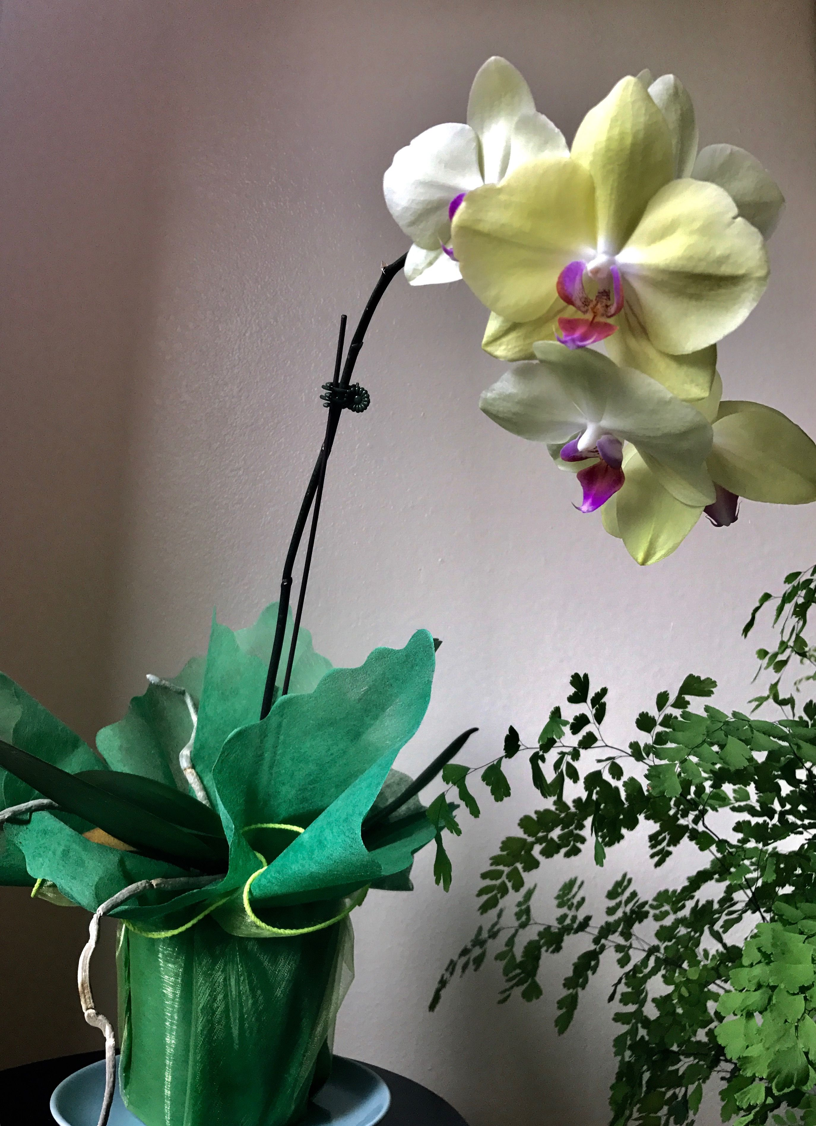 Waisum has beautiful yellow orchids in her home orchids