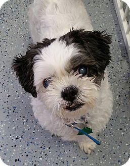Urbana Oh Shih Tzu Mix Meet Domino Turner A Dog For Adoption Http Www Adoptapet Com Pet 15081158 Urbana Ohio Shih Tz Dog Adoption Shih Tzu Mix Shih Tzu