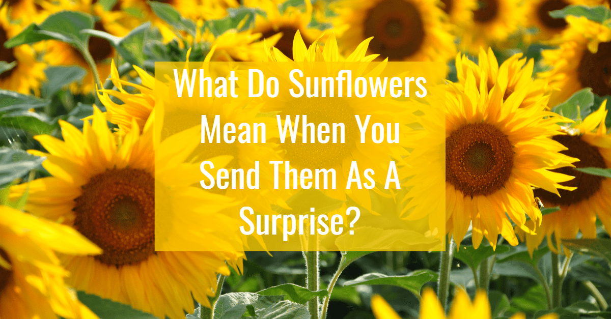 Sunflower Meaning Symbolism Faith Sunflower Soul Scripts