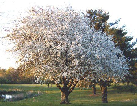 outlet store bcb0c 9989f Malus domestica - Apple Golden Delicious Dwarf Blerick Trees ...