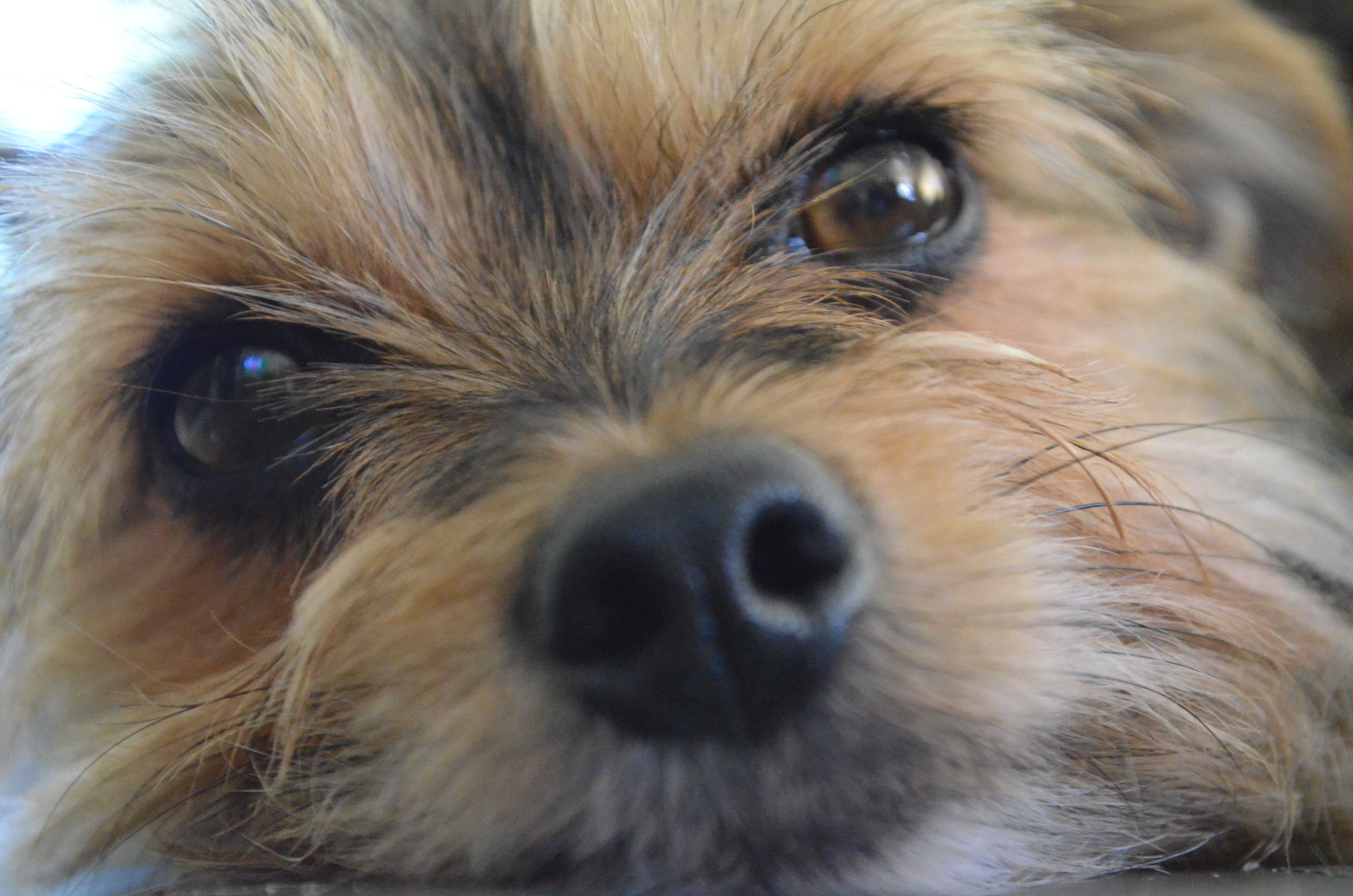 Pin by the price of doodles on animals yorkie puppy