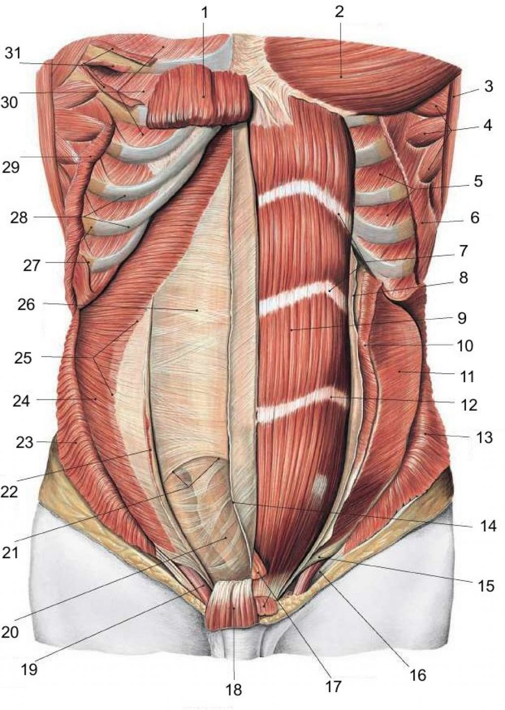 Abdominal Wall Muscle Anatomy | Male Reference | Pinterest | Muscle ...