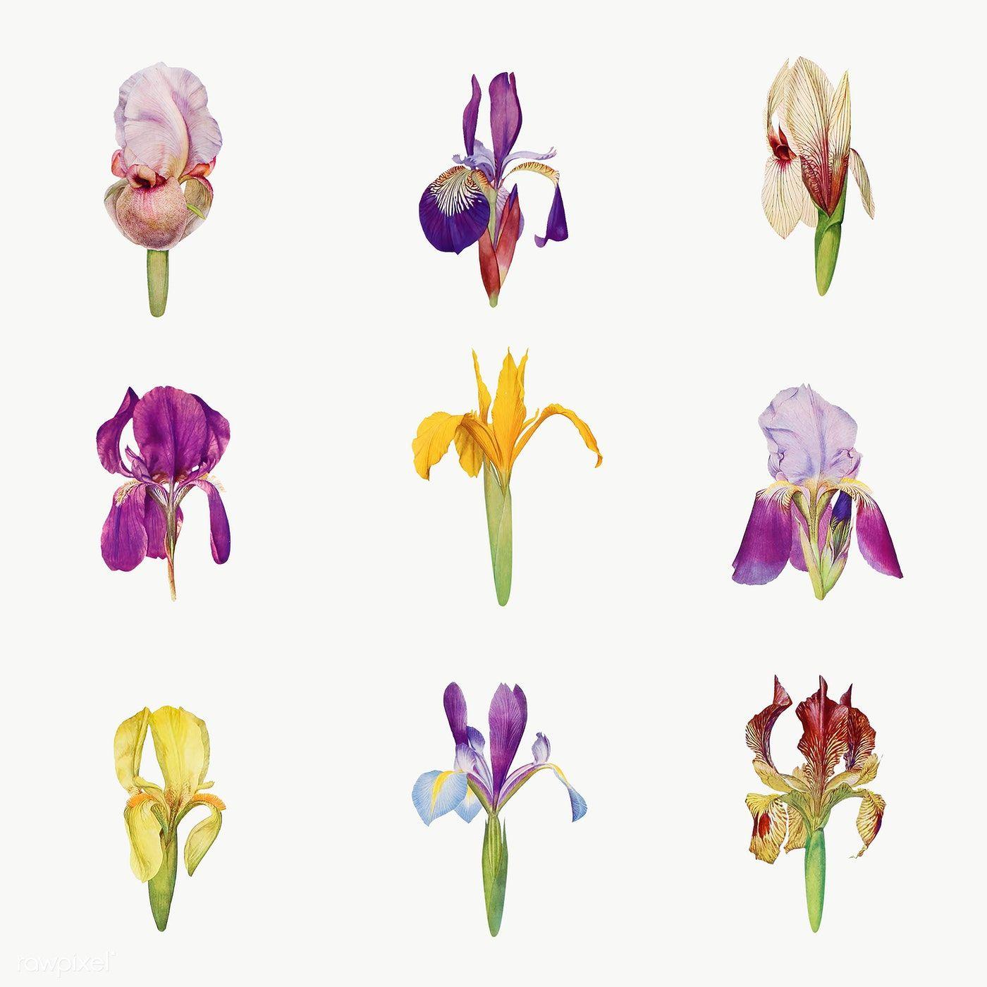 Download Premium Png Of Vintage Iris Flower Illustrations Collection Flower Illustration Iris Flowers Flower Drawing