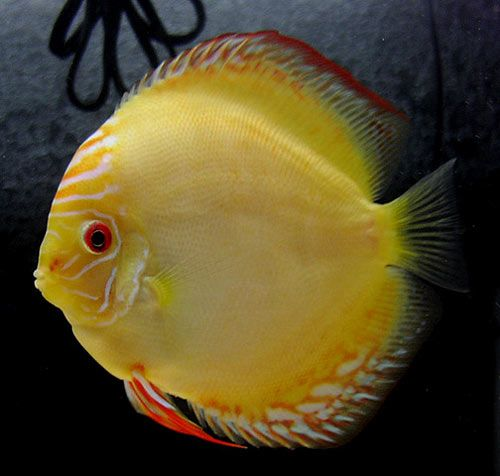 Yellow Discus Fish Yellow Pigeon Discus Fish Solid Yellow Beautiful Fish Discus Fish Tropical Fish Tanks