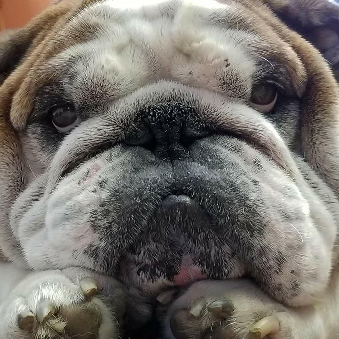 Pin On Bulldog Puppies