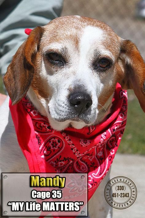 Adopt 35 Mandy Owner Redeemed On Adoptable Beagle Beagle Dog