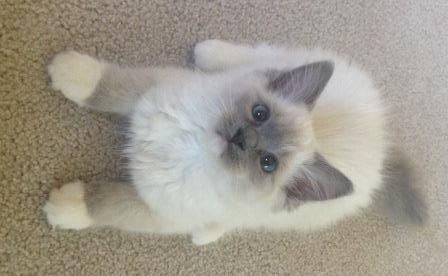 Sophie Ragdoll Kitten Of The Month Ragdoll Kitten Ragamuffin Kittens Angora Cats