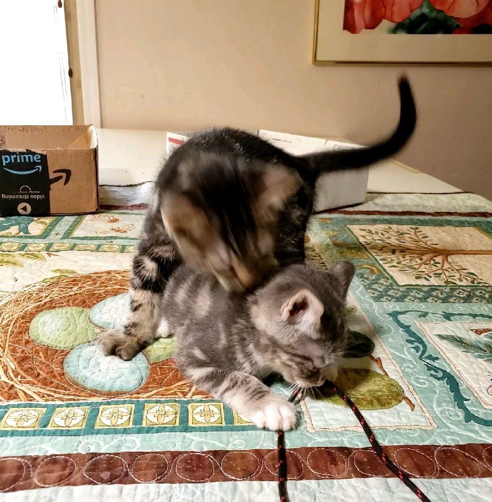 My Cute Little Foster Kittens Jim Judy Are Learning To Play Often With Funny Results Enjoy Www Bottlefedkit In 2020 Baby Kittens Kittens Cutest Foster Kittens