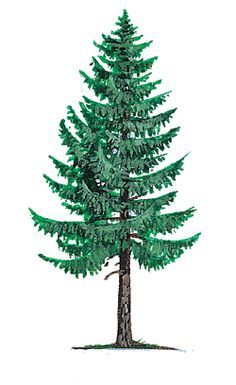 State Of Montana Ponderosa Tree Coloring Page