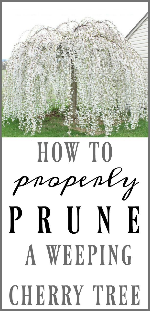 How To Prune A Weeping Cherry Tree Weeping Cherry Tree Cherry Tree Cherry Trees Garden