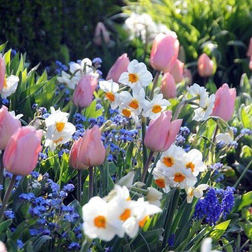 Spring Borders Bulb Combinations Perennial Tulip Christmas Dream Narcissus Cragford Muscari Armenia Geranium