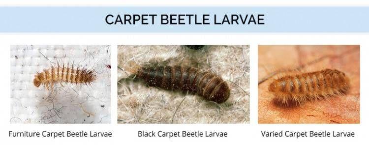 Types Of Carpet Beetle Larvae Types Of Carpet Beetle Carpet