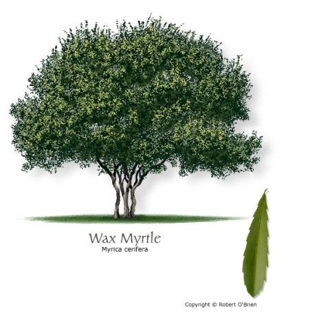 Wax Myrtle Mtv Trees Myrtle Tree Trees To Plant Shade Trees