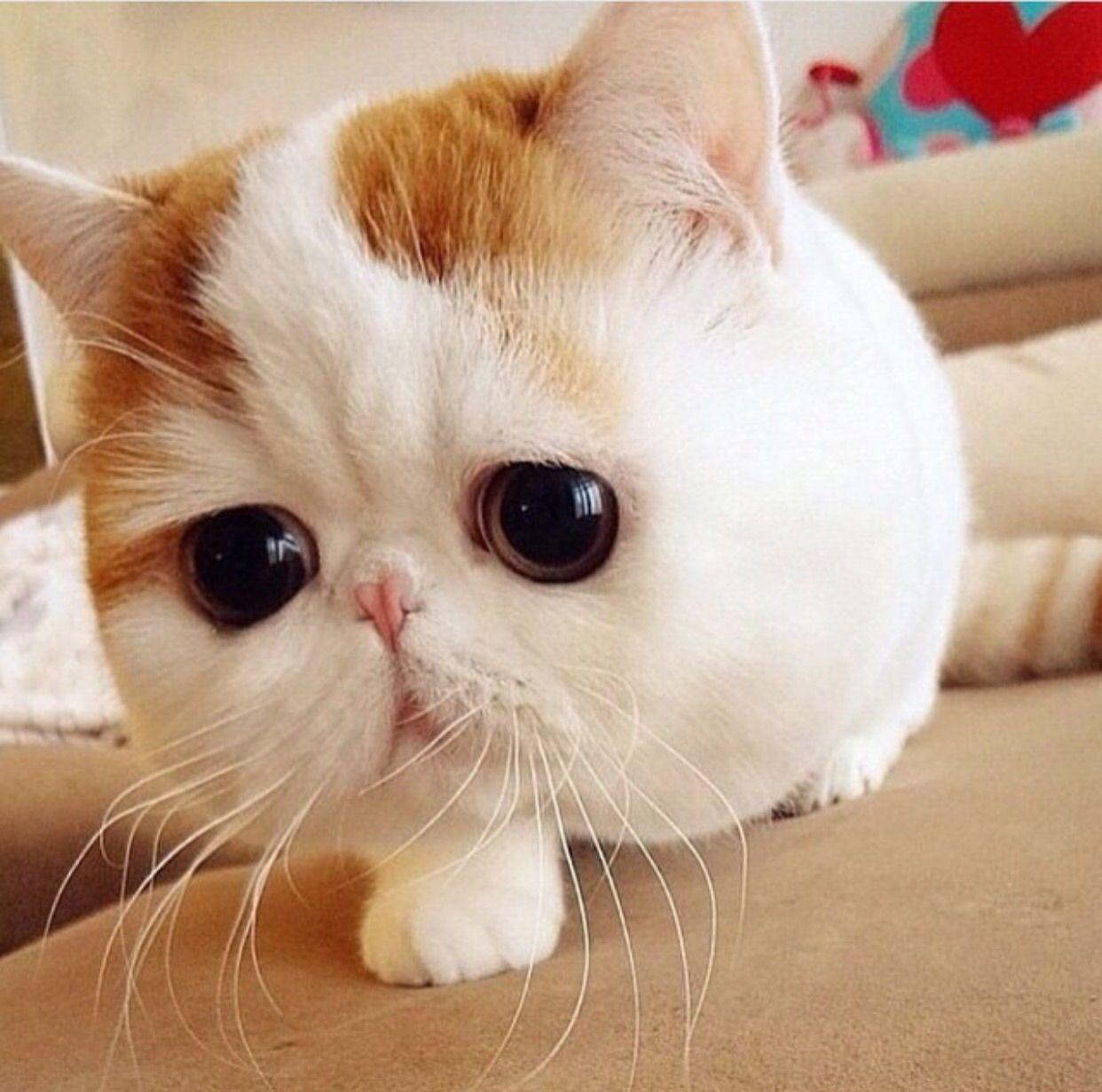 Image Chat Mignon chat mignon❤ ❤ ❤ | animaux | pinterest