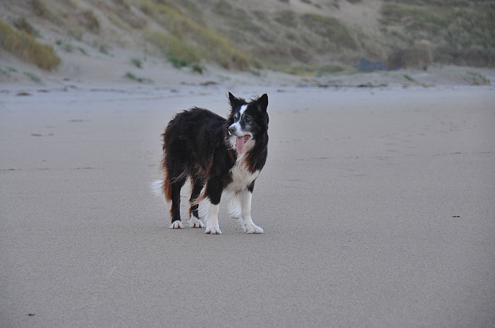 Border Collie At The Dunes In Machir Bay Isle Of Islay Isle Of