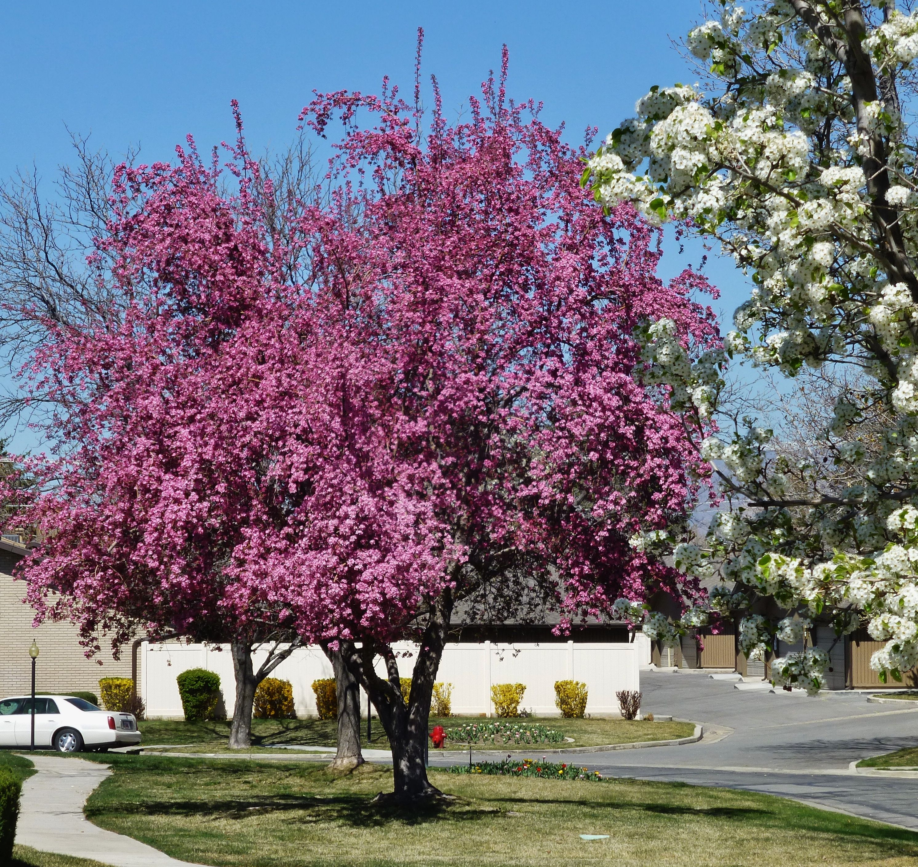 Salt Lake City Spring: Vivid Spring Blossoms In Salt Lake City, 2015. Photography