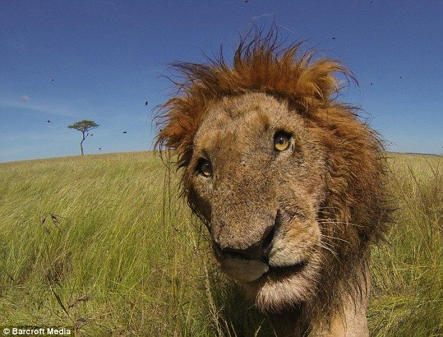 Don't mess with me: The lion stares right into the camera as it defends the hippo carcass...
