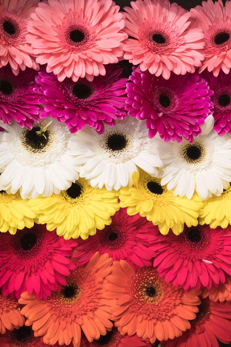 Send Your Choice Of Color Gerbera Flowers In 2020 Gerbera Flowers Flower Art