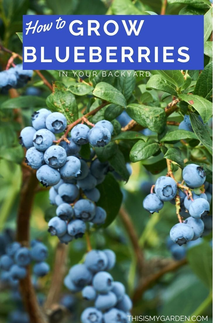 how to care for blueberries in the spring