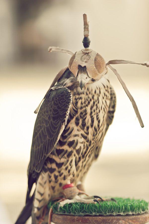 Pin By Asma On Hawking Falconry Pet Birds Falconry Pretty Birds