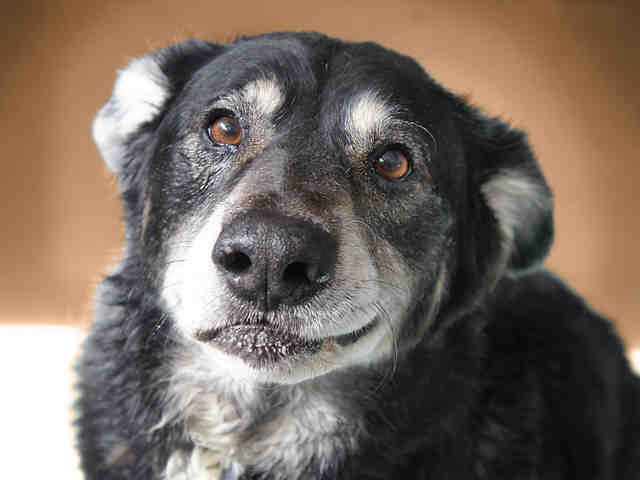 Colorado Max Is A Happy Playful Australian Shepherd Rottweiler Mix Looking For A Home To Call His Own He Lo Rottweiler Mix Pets Australian Shepherd