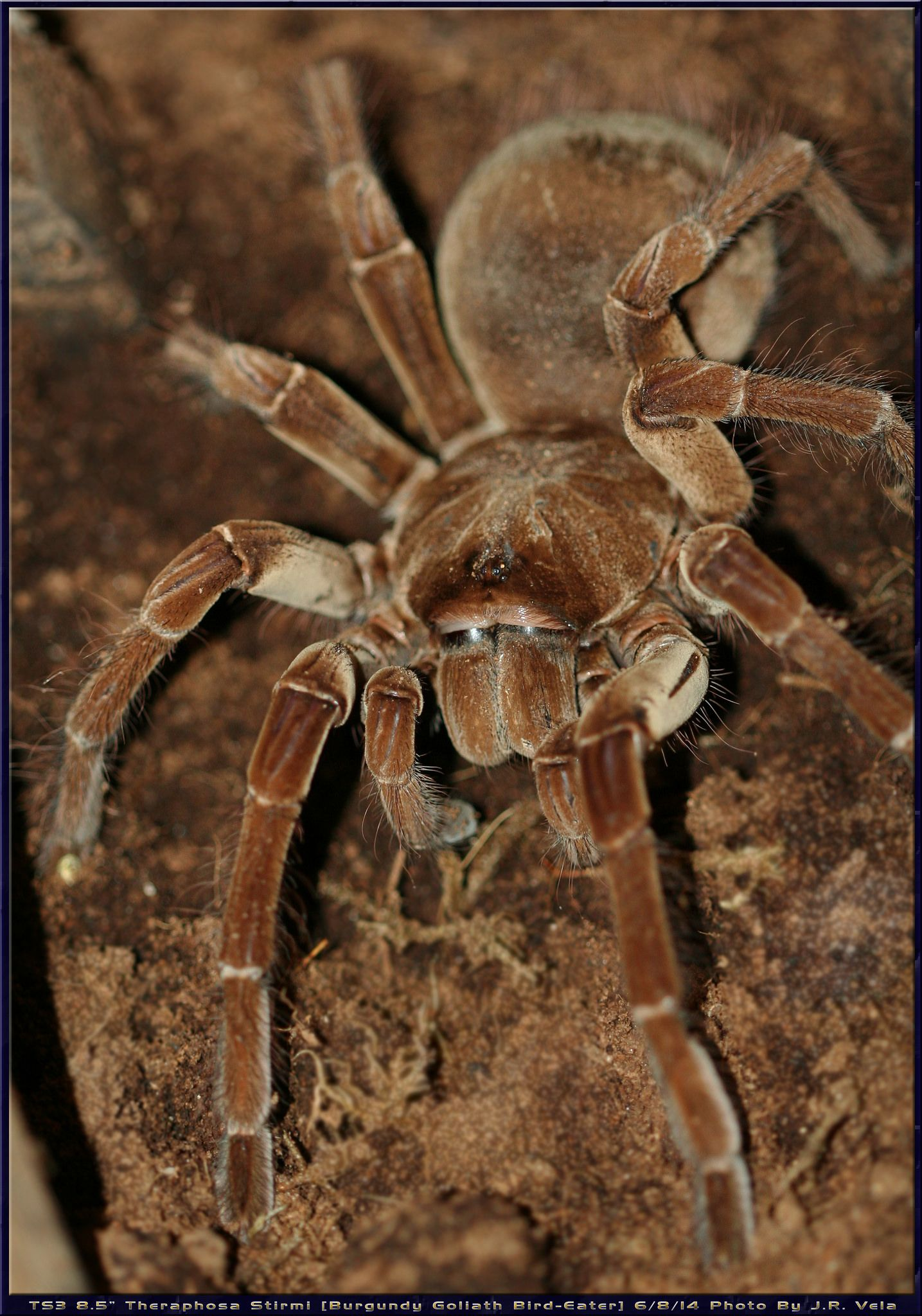 682014 Ts3 Theraphosa Stirmi Spider Mites Spider