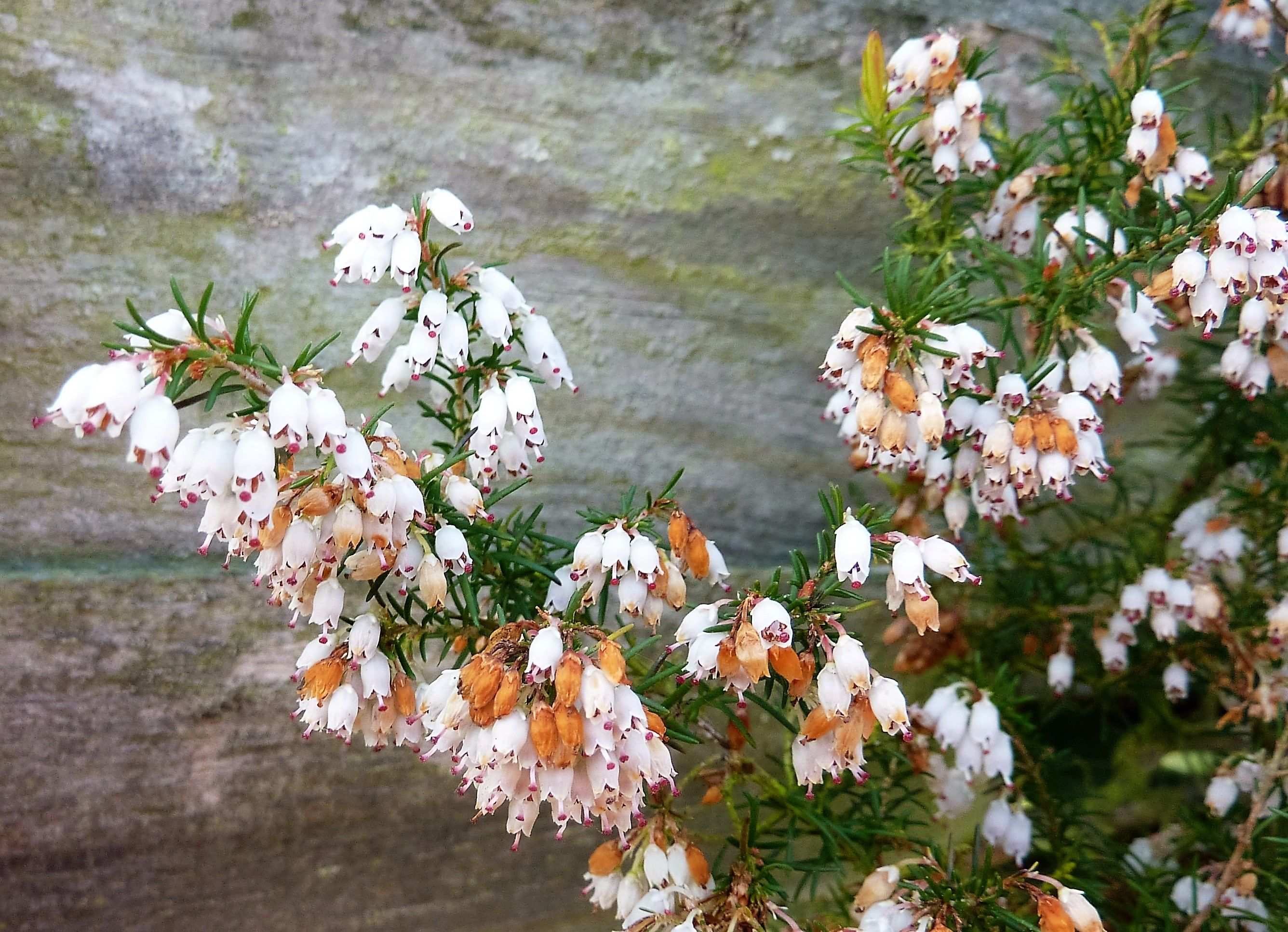 Erica Carnea White Winter Spring Heath With Small Bell Shaped