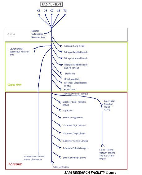 an easily readable diagram of the vertebrae that come together to form the radial  nerve and the areas that the radial nerve controls