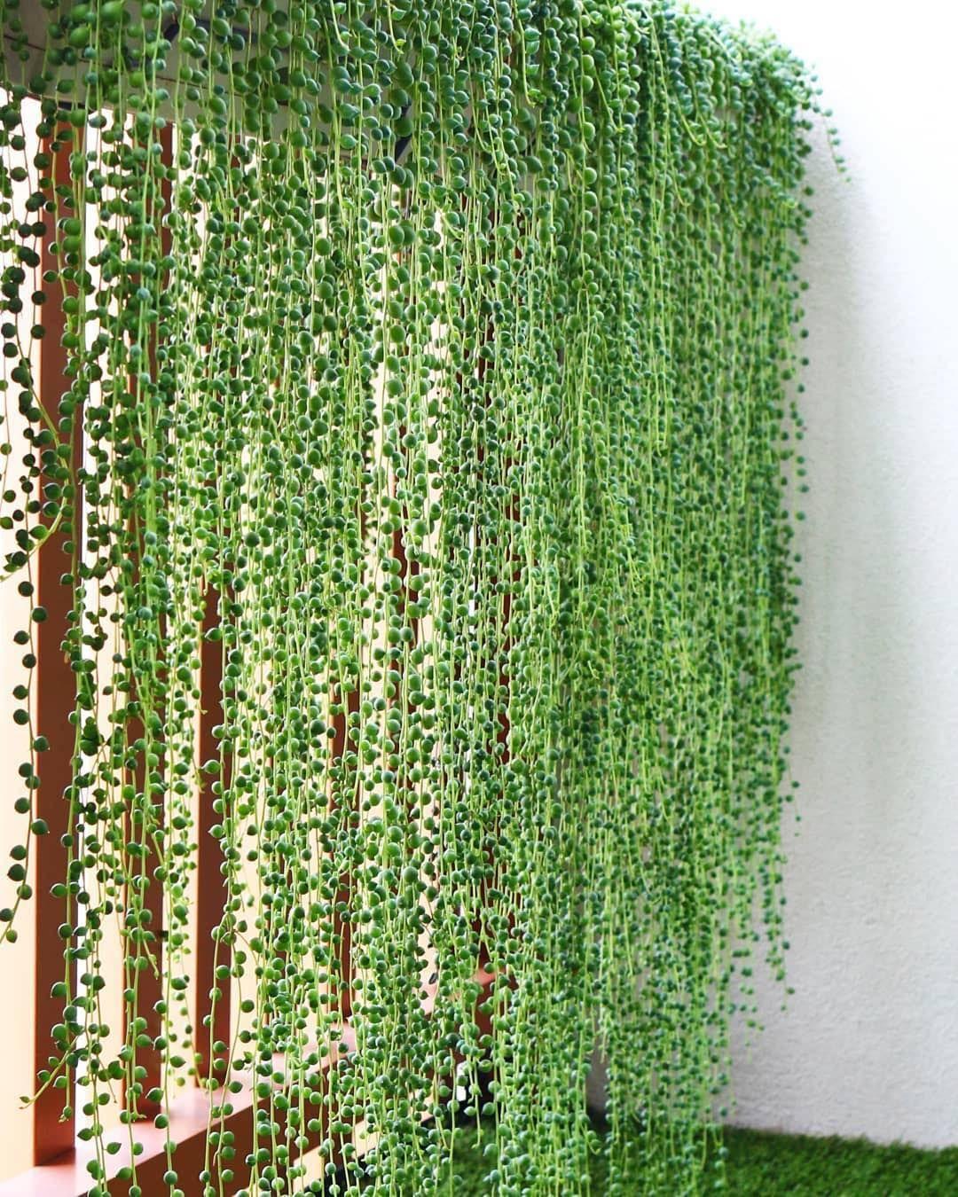 best privacy fence i ever seen   ud83d udc4c ud83c udffd ud83d udc4c ud83c udffd        repost  plant pets  u30fb u30fb u30fb wall of pearls as balcony