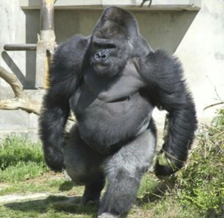 Pin de Manuel Romero en Gorila | Pinterest | Animales, Salvajes y Mono