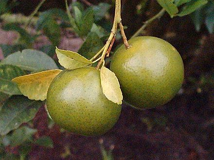 how to prune a lime tree garden guides best time is early spring or late summer