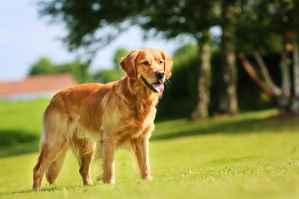 Golden Retriever Golden Retriever Best Medium Dog Breeds Dogs