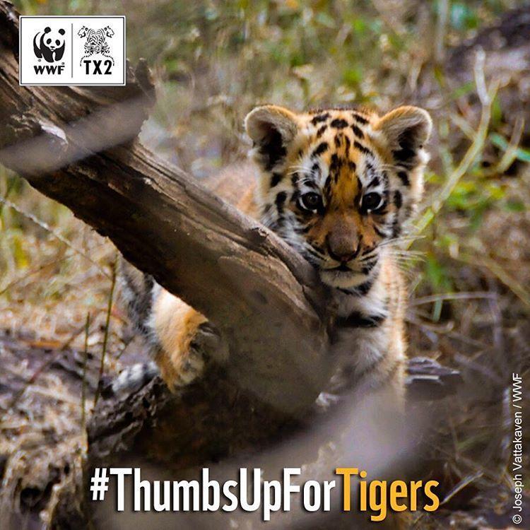 Préserver les tigres, c'est également préserver tout un écosystème #ThumbsUpForTigers #Tiger #Tigre  #WWF #LoveNature…