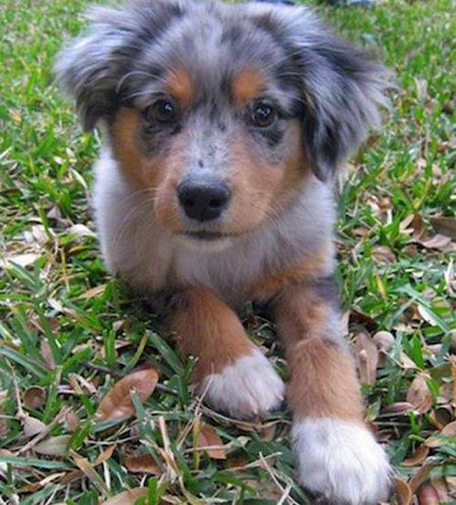 Beagle Australian Shepherd Mix Pinteres