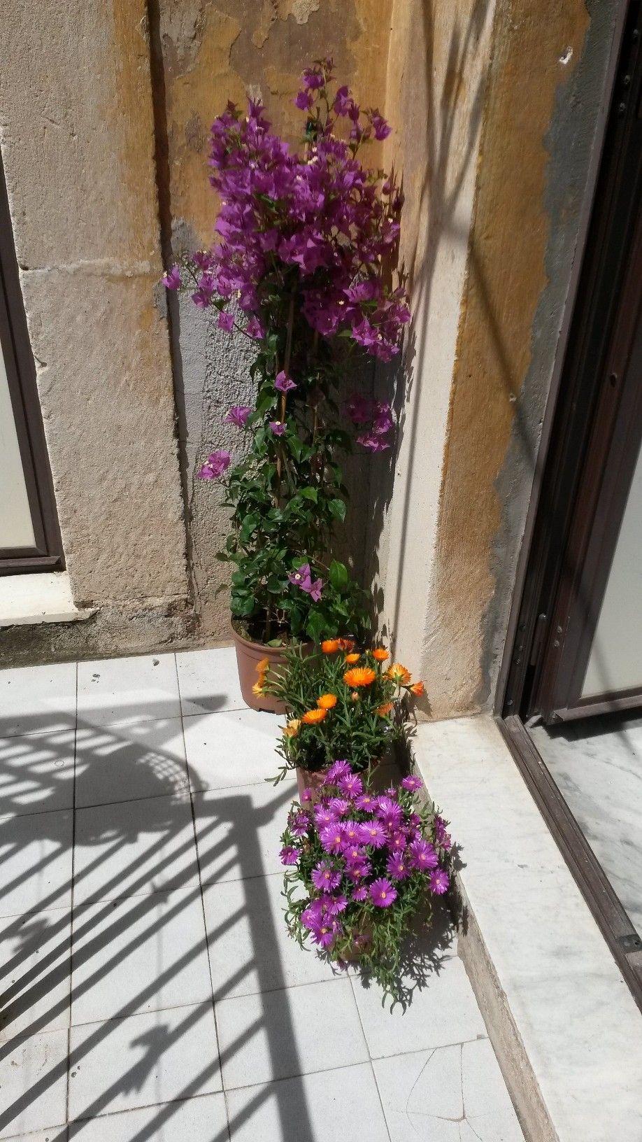 Neofita bouganville consigli pagina 9 forum giardinaggio for Bouganville in vaso