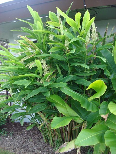 Edible Rhizomes Pick Me Yard Planting Herbs Plants Rhizome