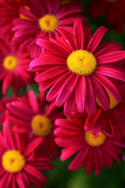 Pyrethrum - Painted Daisies (there is a variety called ...