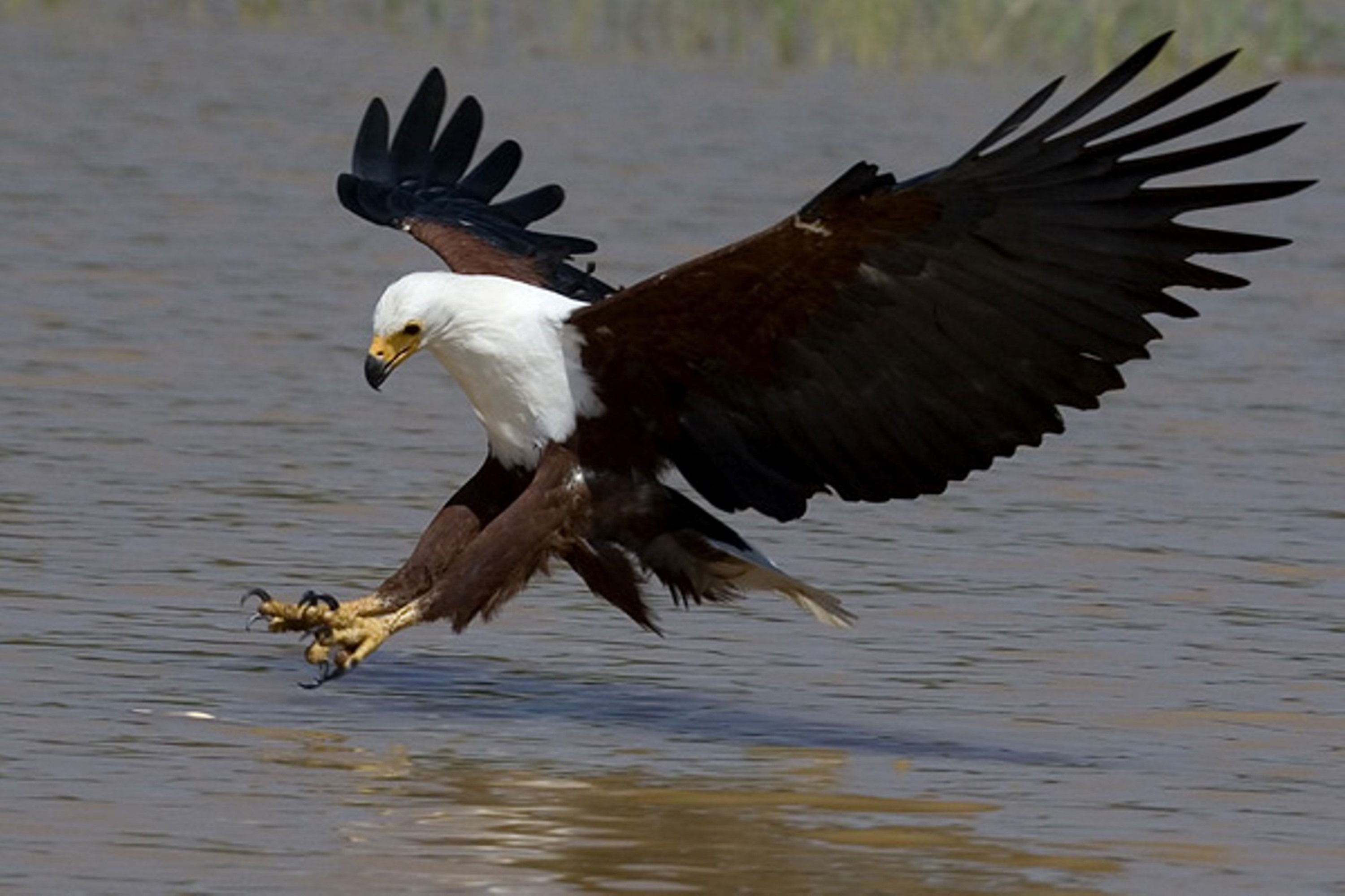 E95 African Fish Eagle Eagle African Wildlife Bird