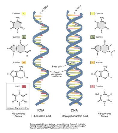 Dna Vs Rna Dna Is A Double Helix Rna Is A Single Strand Instead