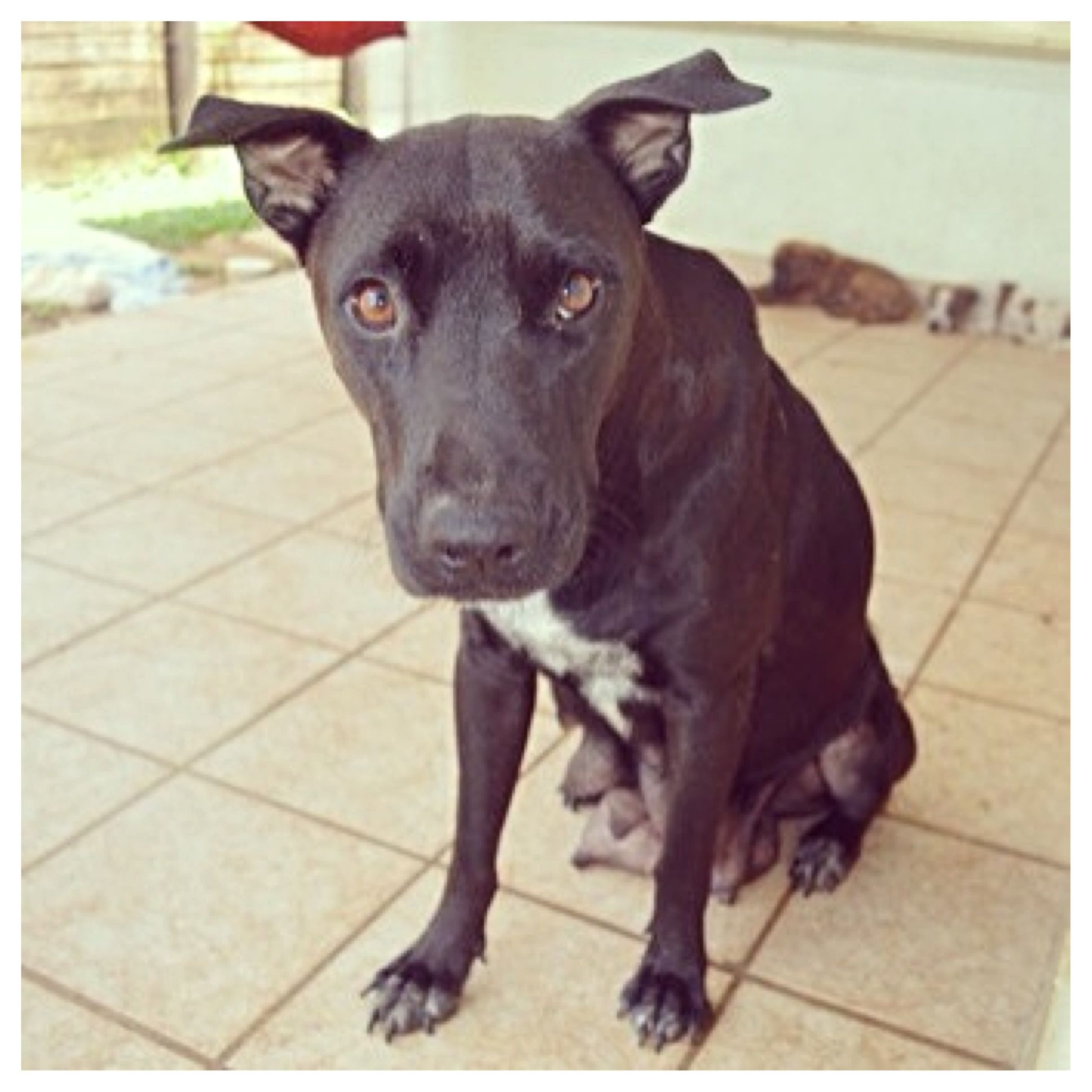Ebony is an adoptable shelterdog in Australia. Animals