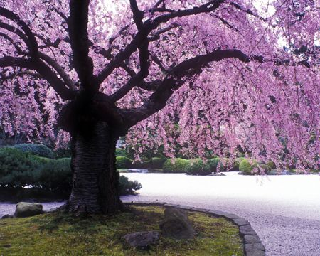 Weeping Willow Cherry Tree So Beautiful Portland Japanese