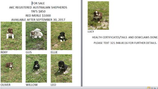 Australian Shepherd puppy for sale in SAINT CLOUD, FL. ADN