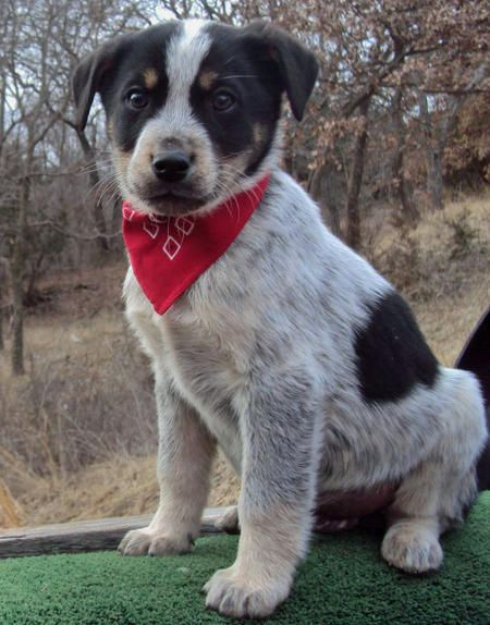 Coonhound Mix Puppies I Need It Coonhound Blue Heeler