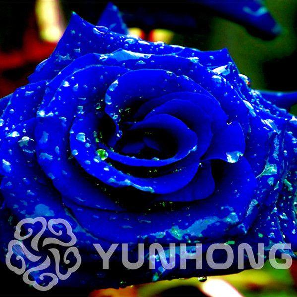 Bonsai 100 PCS Seeds Rose MIX Different Rare Colors Osiria Heirloom Flowers NEW