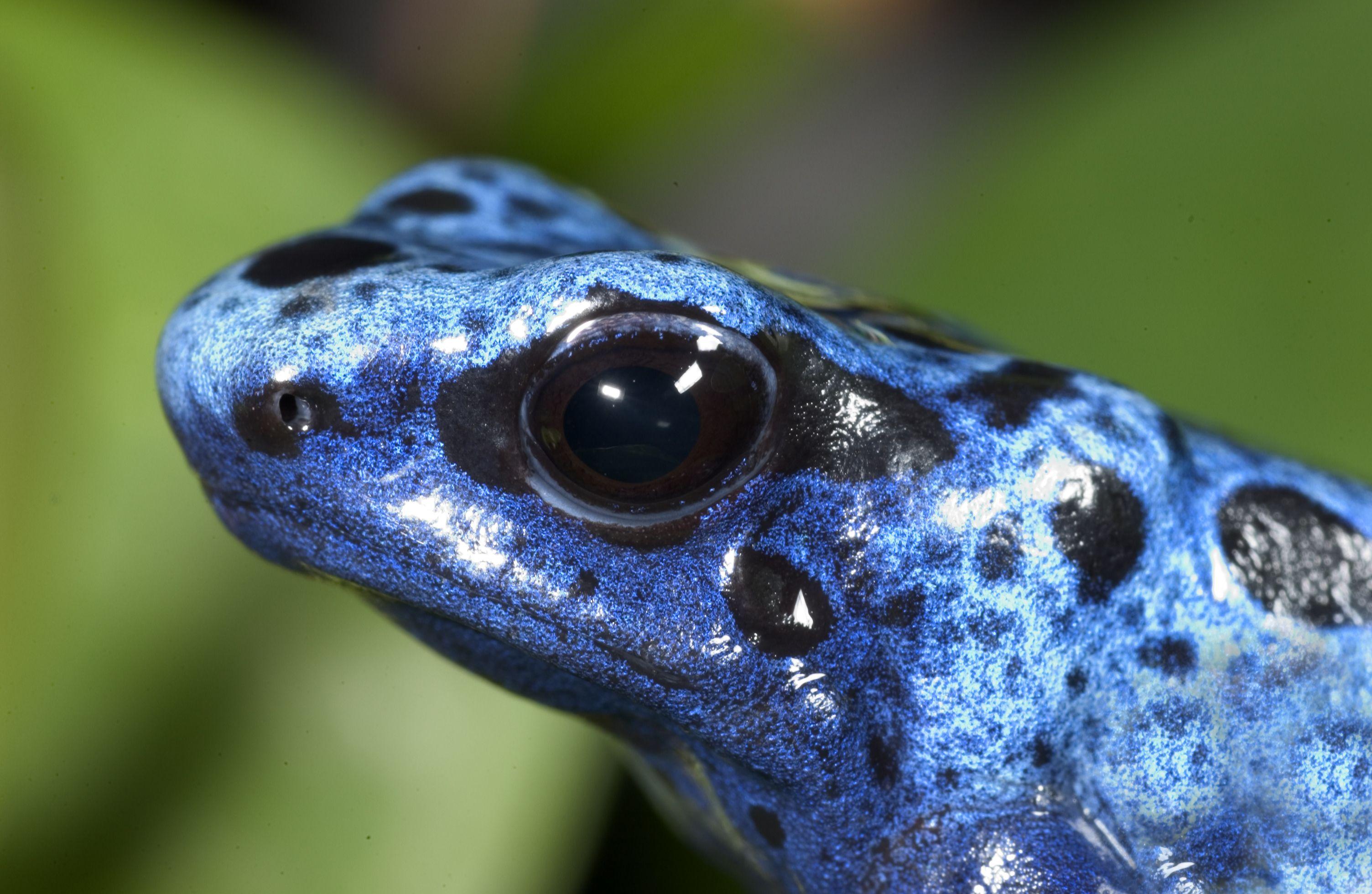 poison dart frog | Oregon Zoo | Dendrobates tinctorius ...
