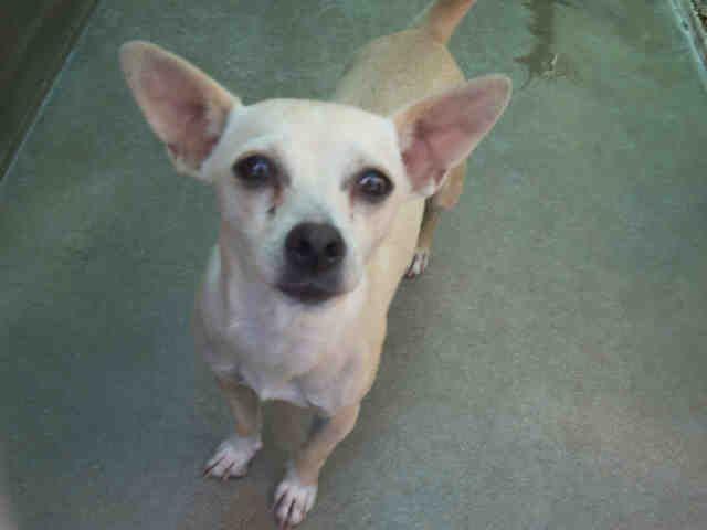Petfinder Adoptable Dog Chihuahua Orange, CA PARIS