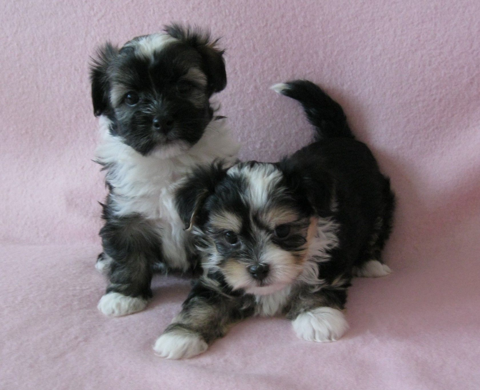 Pin by Bob Ross on Cloe's AKC havanese puppies for sale ...