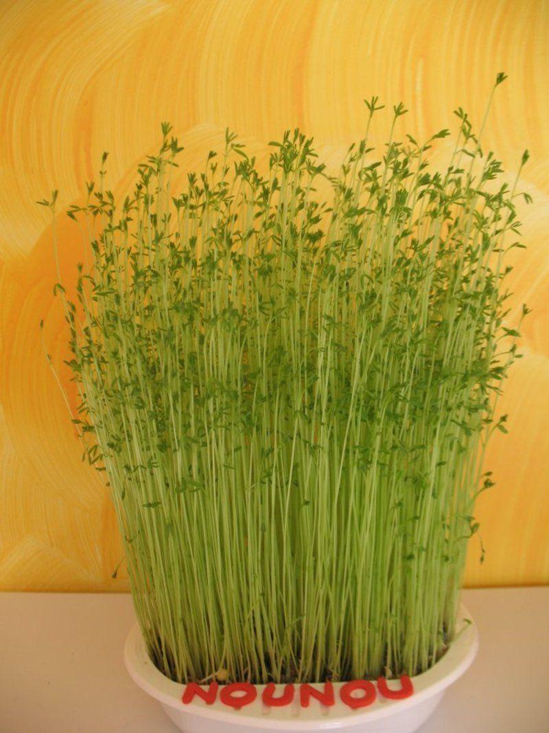faire pousser les lentilles astuces jardin et plantes pinterest les lentilles lentilles. Black Bedroom Furniture Sets. Home Design Ideas