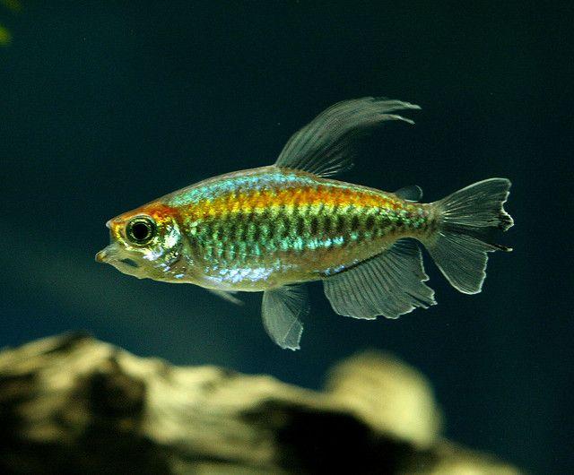 Congo Tetra Aquarium Fish Tropical Fish Cool Fish