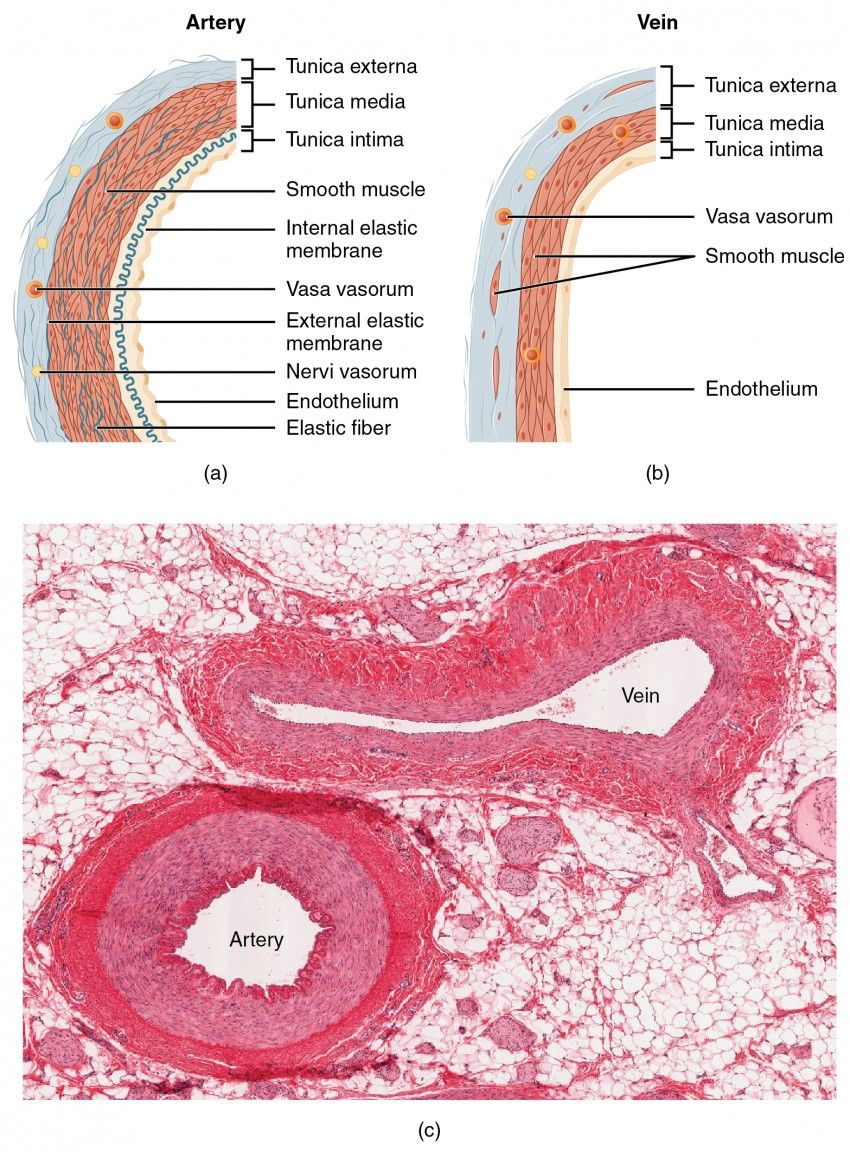 Vein And Artery Slide Google Search Bio Stuff Slides Pinterest